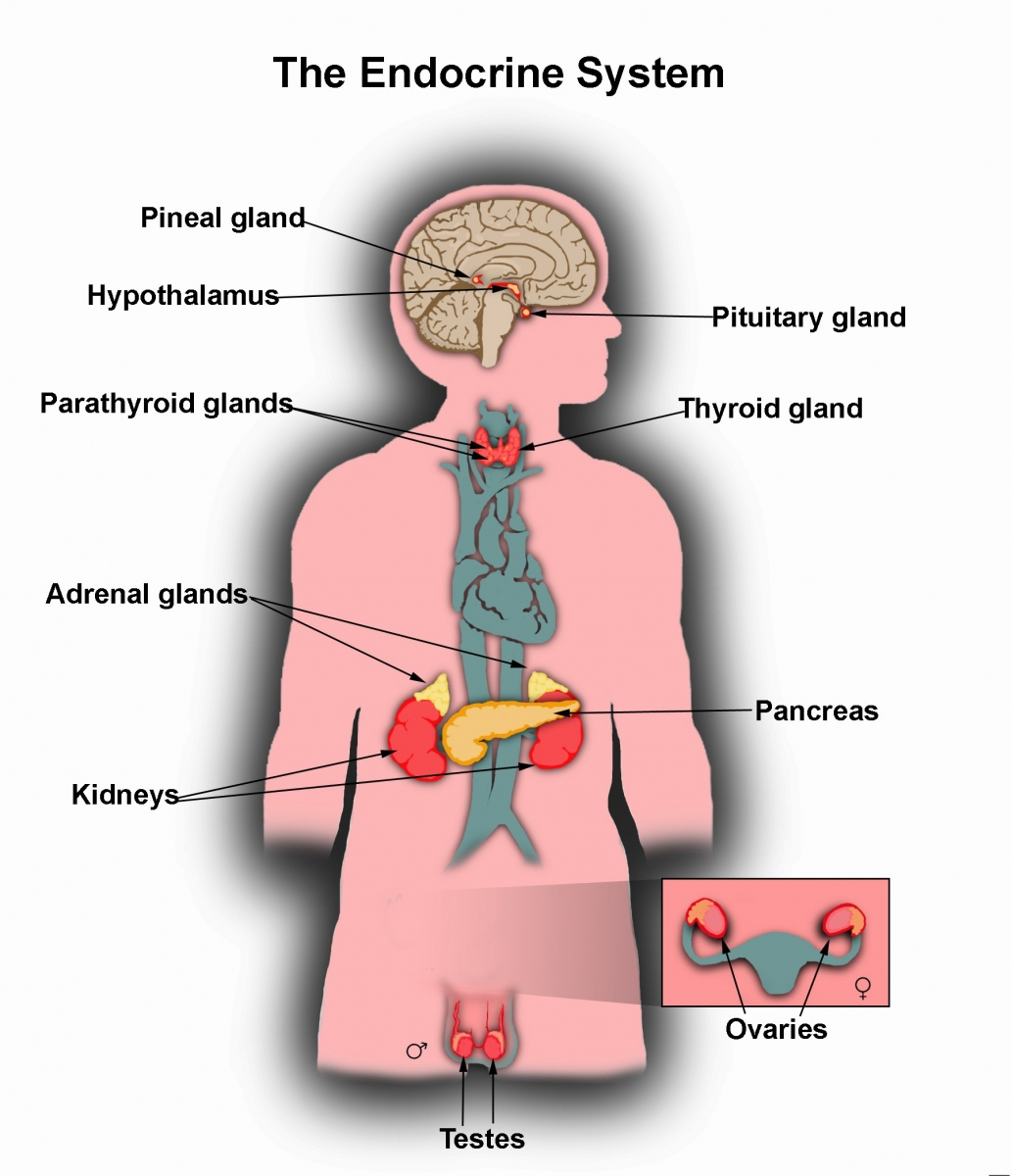 an overview of the foundations of the endocrine system of human anatomy in biology